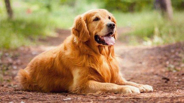 Những giống chó thông minh nhất thế giới