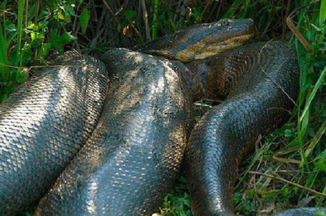 Những hình ảnh chân thực nhất về quái vật sông Amazon