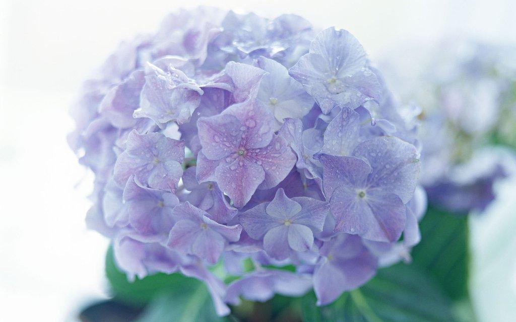 Những loài hoa đẹp có chất kịch độc chết người