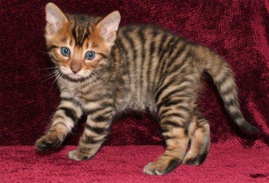 Những loài mèo đẹp lạ trên thế giới
