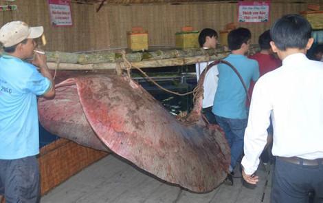 Những sinh vật khủng từng dính lưới ngư dân Việt Nam