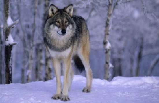 Những sự thật ít được biết đến về loài sói