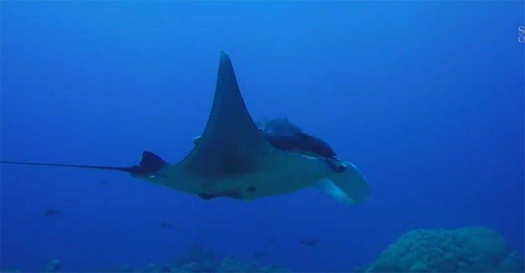 Nơi được ví như nhà trẻ của cá đuối manta khổng lồ