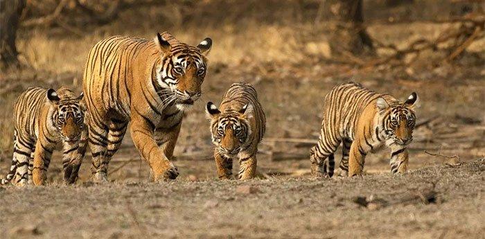 """""""Nữ hoàng hổ"""" Machli: một mình giết cá sấu trưởng thành, mất hết răng nanh vẫn đánh bại hổ đực"""