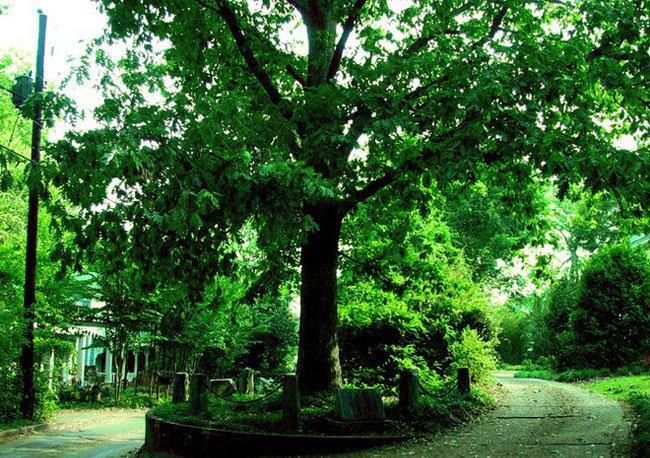 Ở Mỹ có một cây sồi thừa kế đất từ chính cha của nó, được luật pháp bảo vệ