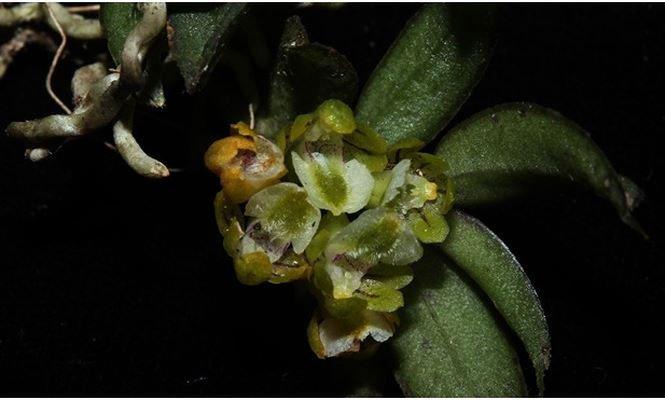 Phát hiện 2 loài hoa lan mới tuyệt đẹp ở Lào Cai và Khánh Hòa