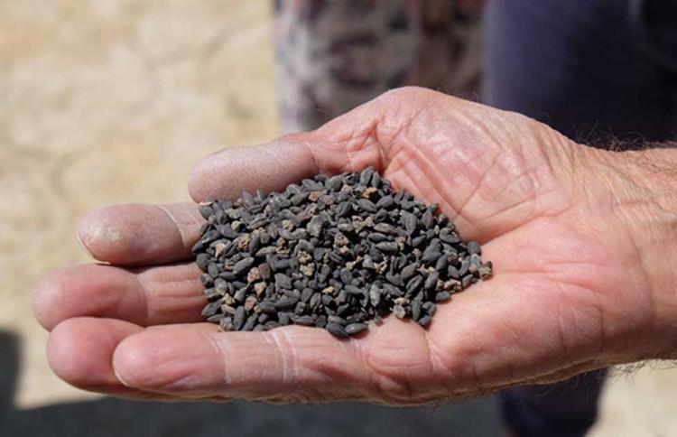 Phát hiện hạt giống kỳ lạ nằm 2.000 năm trong cổ mộ