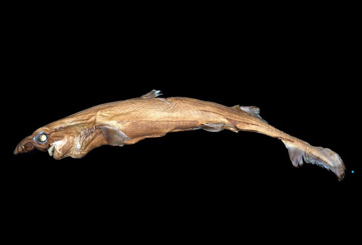 Phát hiện loài cá mập tí hon, phát sáng và có gương mặt của quỷ sứ