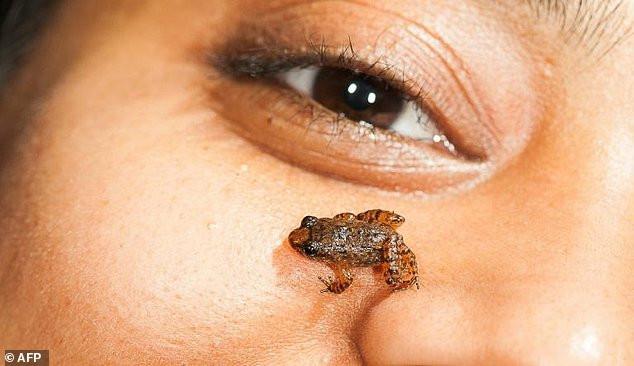 Phát hiện loài ếch mới bé tí xíu, thừa sức đặt trên móng tay