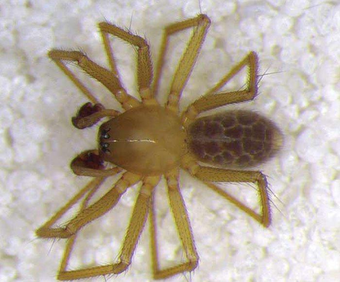 Phát hiện loài nhện mới trong suốt