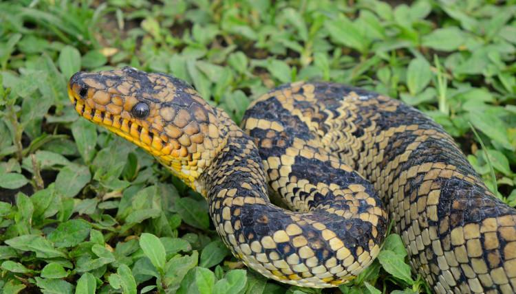 Phát hiện loài rắn vô cùng quý hiếm sau hàng chục năm vắng bóng