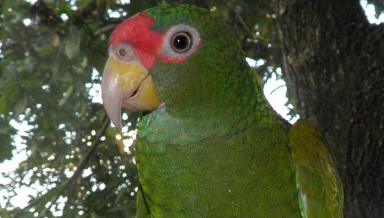 Phát hiện loài vẹt mới ở Mexico, đầu đội vương miện xanh lá cây