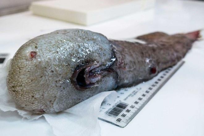 Phát hiện sinh vật không mặt quái dị dưới đáy biển sâu
