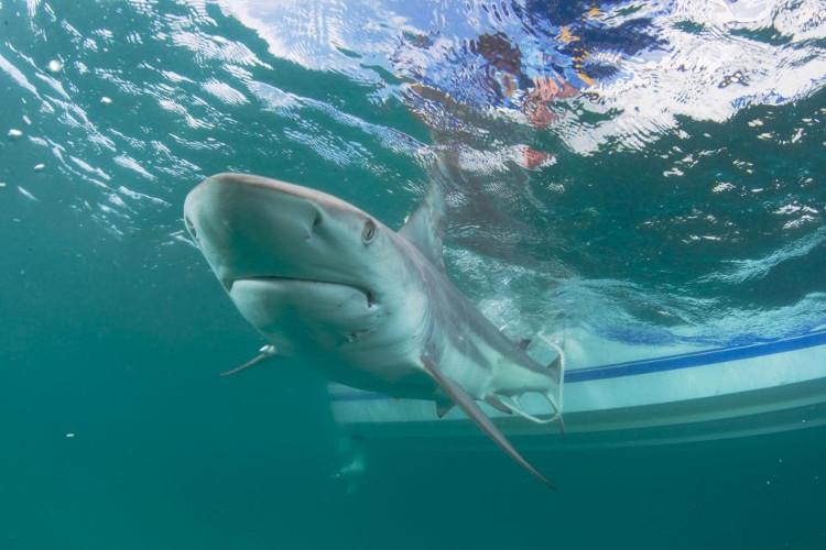 Phát hoảng cảnh hàng nghìn cá mập vây kín bờ biển Mỹ
