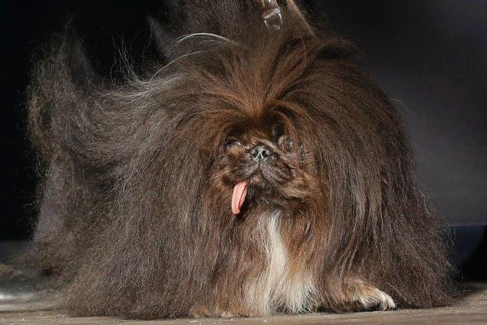 Phát sốt trước chú chó xấu xí nhất thế giới