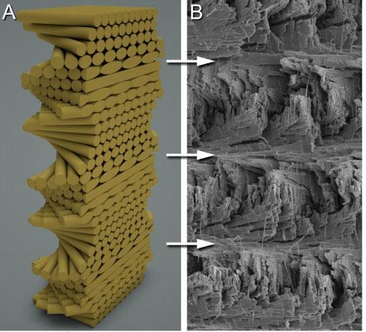Phát triển vật liệu siêu nhẹ lấy cảm hứng từ tôm tít