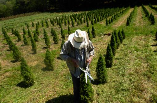 Quy trình chăm sóc cây thông Noel