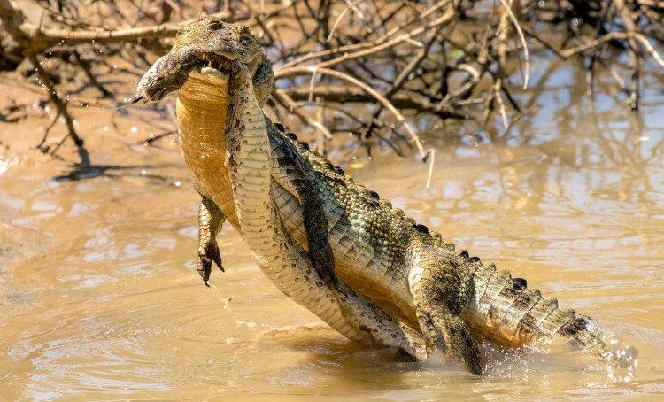 Rắn hổ bướm tử chiến với cá sấu dưới hồ