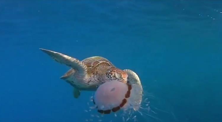 Rùa biển xé xúc tu độc của sứa ăn ngấu nghiến