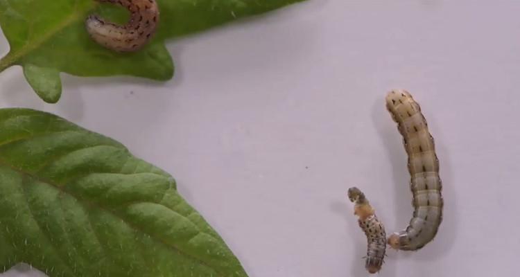 Sâu bướm ăn thịt đồng loại vì chất tự vệ của cây