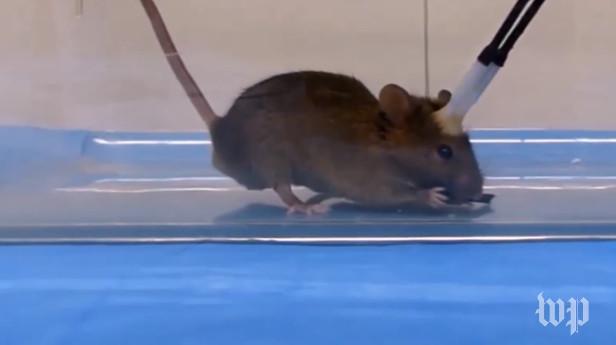 Sốc với nghiên cứu biến chuột thành sát thủ máu lạnh