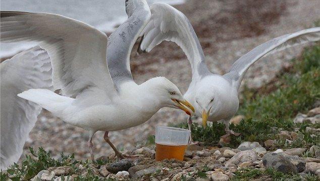Sống gần nhà máy bia, Hải âu bị say tập thể