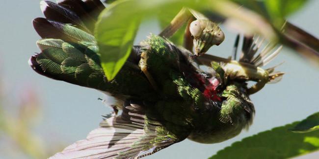 Sự thật kinh hoàng: Bọ ngựa săn chim và ăn não của con mồi ngay khi chúng đang sống