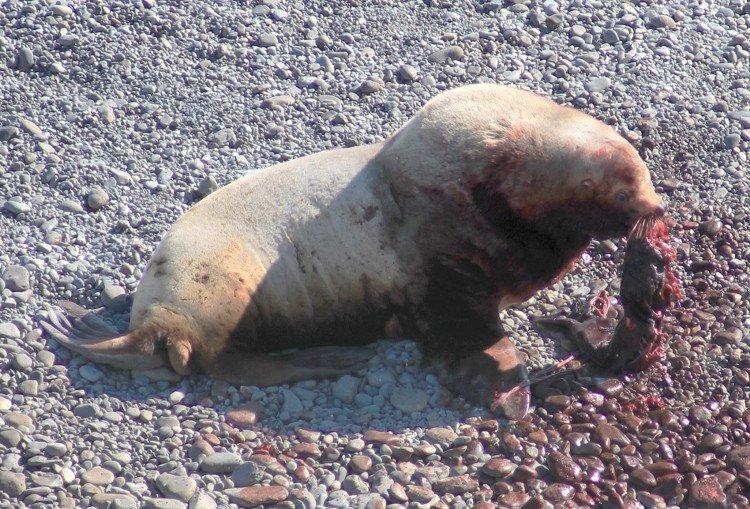 Sư tử biển giết, ăn thịt con non khiến chuyên gia bối rối