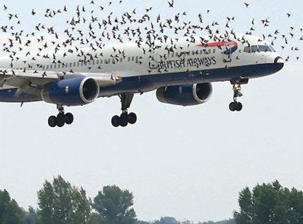 Tại sao chim có thể làm rơi máy bay