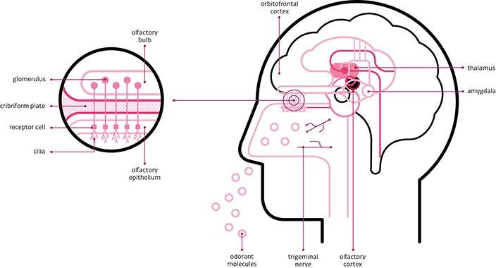 Tại sao khứu giác có thể giúp khôi phục trí nhớ?