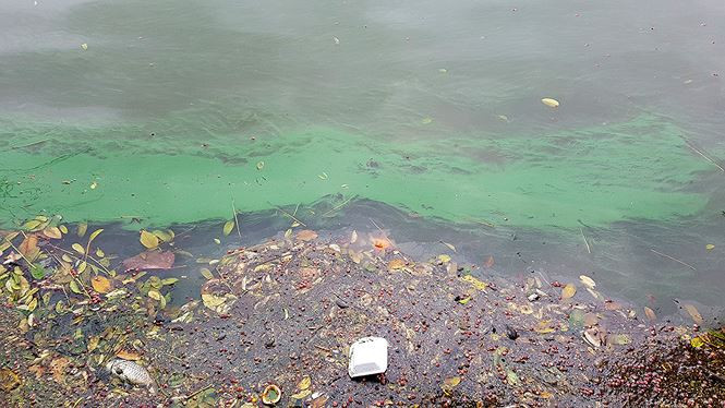 Tảo lam bùng phát dày đặc ở hồ Hoàn Kiếm sau nạo vét