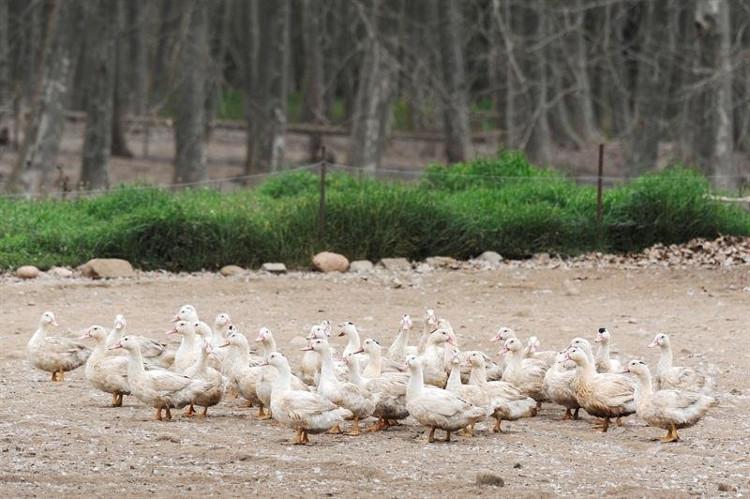 Tây Ban Nha tiêu hủy hơn 17.000 con vịt nghi nhiễm H5N8