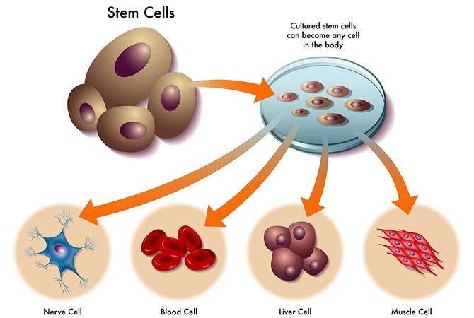 Tế bào gốc là gì? Y học trong lĩnh vực này đã tiến bộ đến đâu?