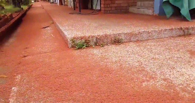 Thảm cua đỏ rực phủ kín hòn đảo Australia