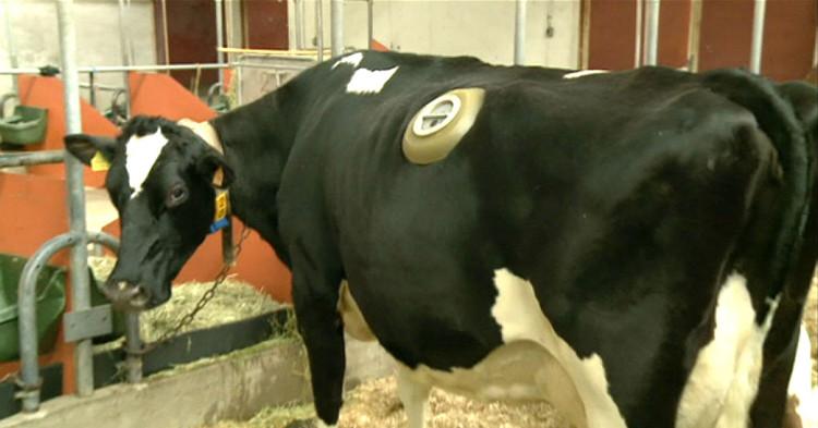 Thực hư về những cái lỗ to được khoét trên bụng con bò sữa đang gây phẫn nộ