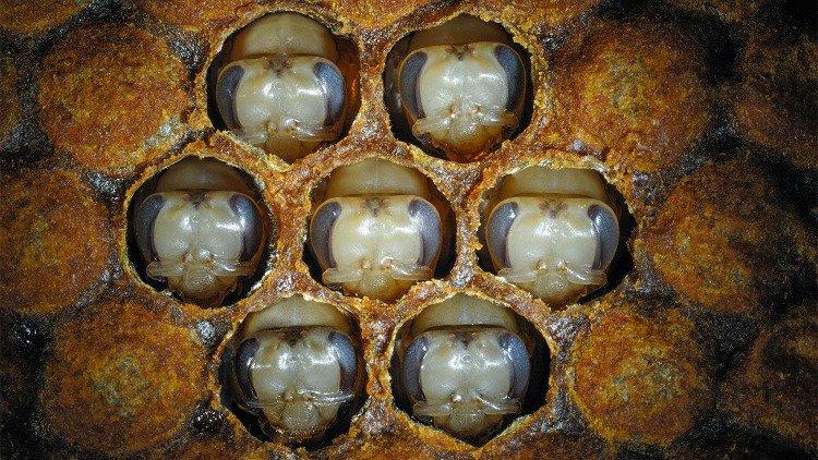 Tìm ra bí mật khiến ong mật thành ong chúa