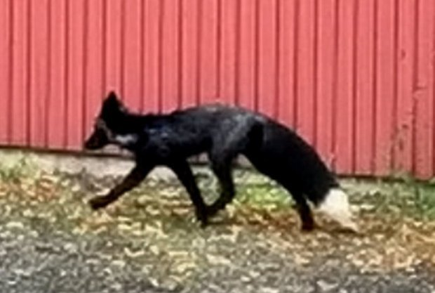 Tìm thấy con cáo đen được xếp vào hạng hiếm có khó tìm trên thế giới