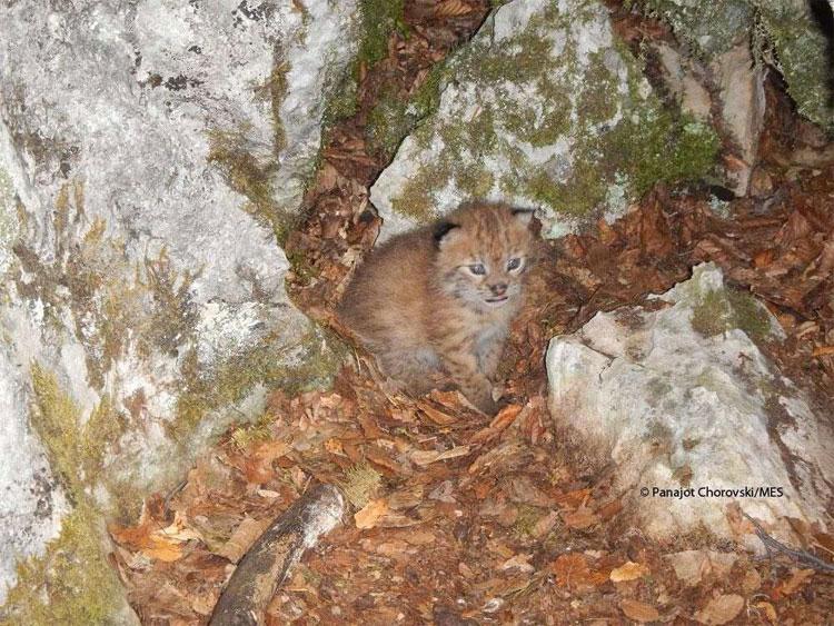 Tìm thấy giống mèo hoang Balkan tưởng chừng đã tuyệt chủng