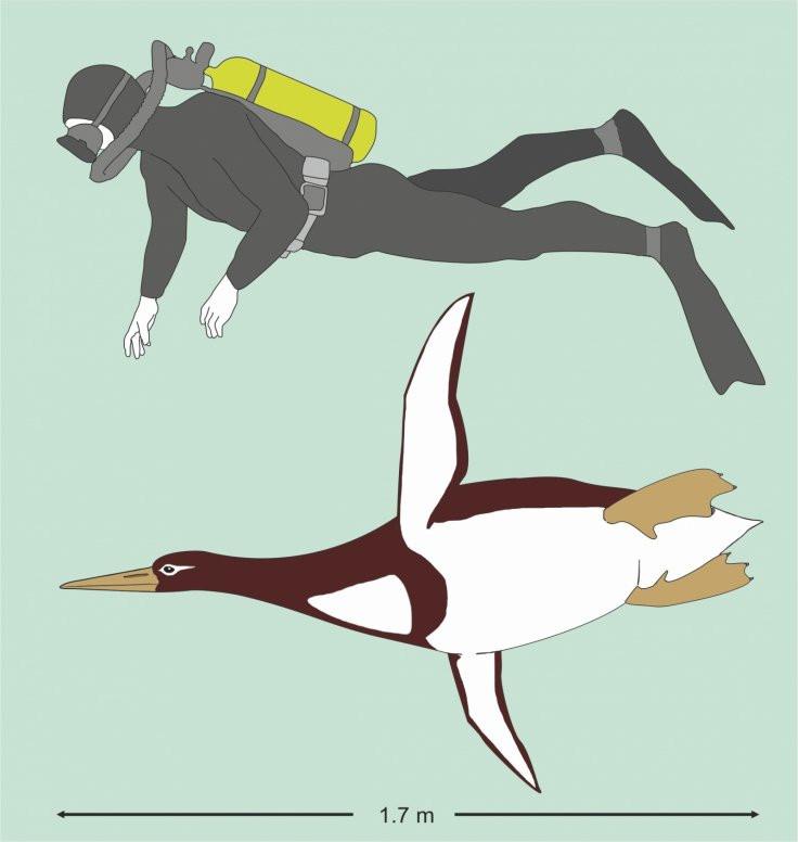 Tìm thấy loài chim cánh cụt cổ đại lớn như con người