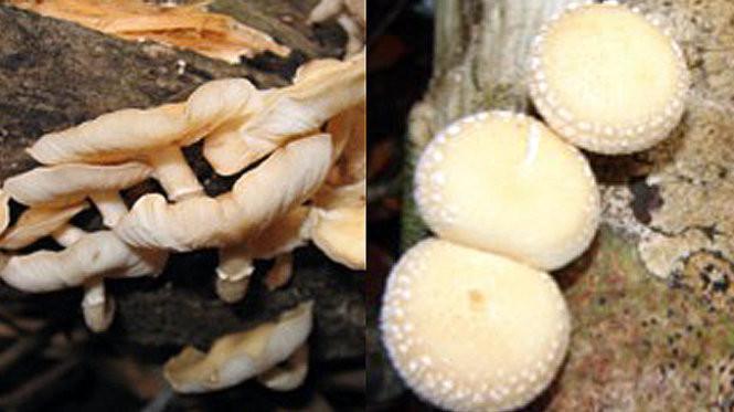 Tìm thấy một loài nấm mới ở Lâm Đồng