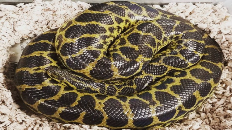 Trăn anaconda cuộn tròn trong phòng vệ sinh nhà dân