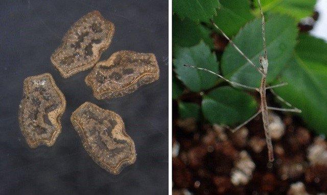Vì sao bọ que có mặt khắp hành tinh?