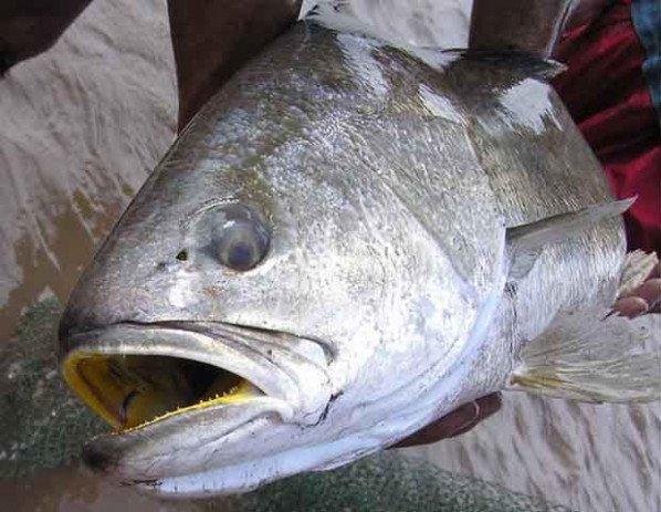 Vì sao cá sủ vàng được bán giá đắt đỏ?