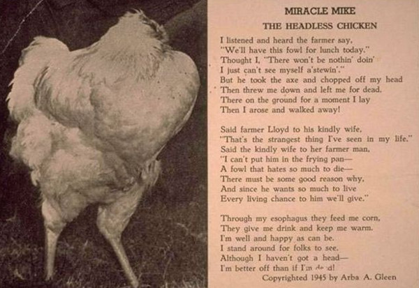 Vì sao chú gà bị chặt đứt đầu vẫn sống được thêm 18 tháng?