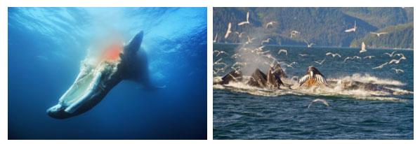 Vì sao khi chết đi rồi, cá voi vẫn có ích đến hàng chục năm sau?
