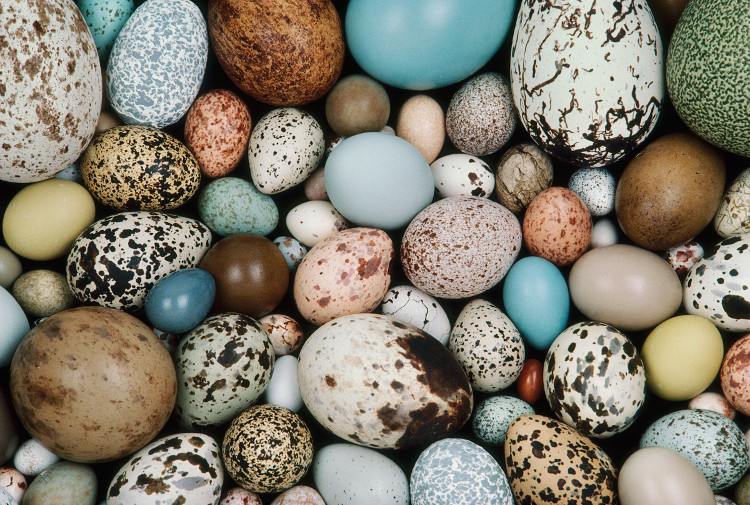 Vì sao trứng chim có hình dáng khác nhau?