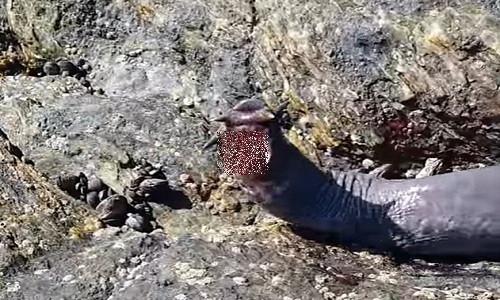 Video: Loài thủy quái chuyên khoan thịt cá mập từ bên trong