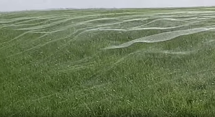 Video: Mạng nhện khổng lồ che phủ cả cánh đồng tại New Zealand
