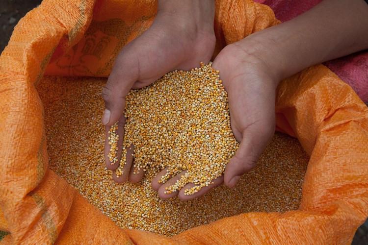 """Xem nông dân Bolivia thu hoạch """"thực phẩm vàng"""""""