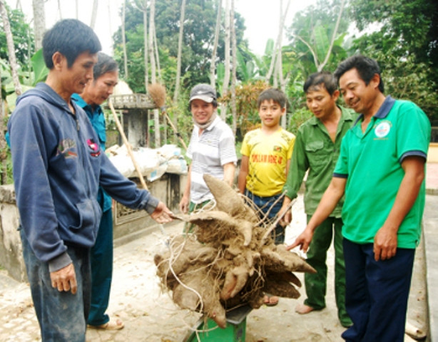 Xôn xao củ khoai vạc rồng khủng nặng 73kg ở Nghệ An